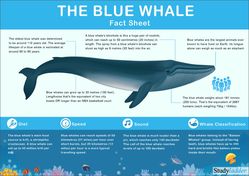 blue whale facts - 841×596